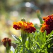 Yellow African marigold flower - Stock Photo