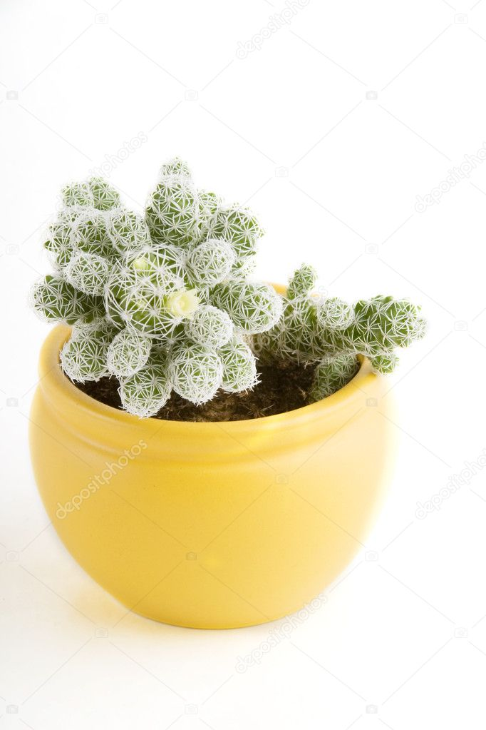 A small cactus with a small flower beginning to bloom  Stock Photo #5678789