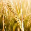 Wheat Head Detail - Stock Photo