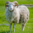 Sheep with Horns - Stock Photo