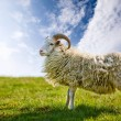 Proud Sheep - Stock Photo