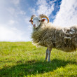 Sheep — Stock Photo #5684913