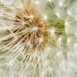 Stock Photo: Dandelion Background