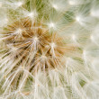 Dandelion Seed texture — Stock Photo
