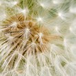 Stock Photo: Dandelion Seed texture
