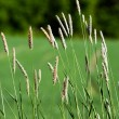 Wild Grass Background — Stock Photo