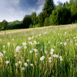 Dandelion Field — Stock Photo #5684988