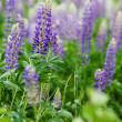 Stock Photo: Purple Lupin Flower