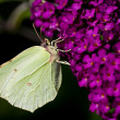 Brimstone Butterfly - ストック写真