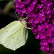 Brimstone Butterfly — Stock Photo #5685436