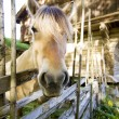 Norwegian Fjord Horse — Stock Photo #5686105