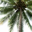Isolated Palm Tree — Stock Photo
