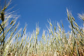 Wheat Detail — Stock Photo
