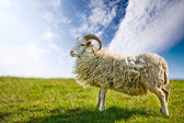 Proud Sheep — Stock Photo