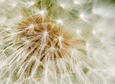 Dandelion Seed texture — Photo