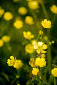 Buttercup Flower — Stock Photo