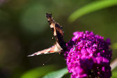 Buttefly on Purple Plant — Stock Photo