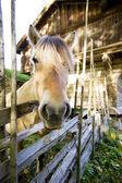 Norwegian Fjord Horse — Stock Photo