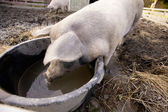 Pig at Water Bowl — Stockfoto