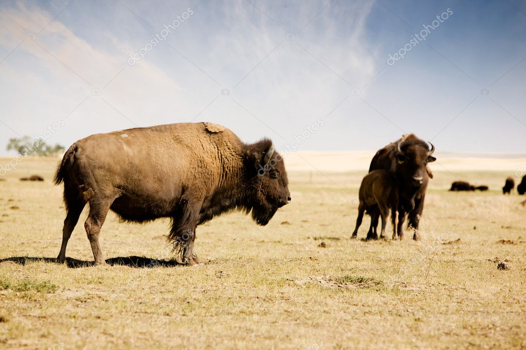 A bison buffalo standing his ground on the paririe — Stock Photo #5682475