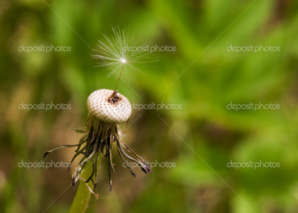 A single dandelion see with the top hairs in focus  Photo #5684938