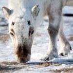 Reindeer Detail — Stock Photo