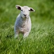 Running Sheep — Stock Photo