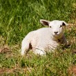 Resting Sheep - Stock Photo