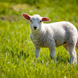 Lamb — Stock Photo #5692981