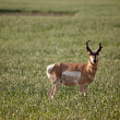 Stock Photo: Pronghorn Antelope