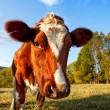 Stock Photo: Curios Cow