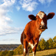 Funny Cow — Stock Photo #5698931
