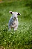 运行羊 — 图库照片