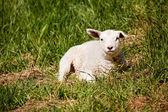 Resting Sheep — Stock Photo