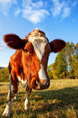Curios Cow — Stock Photo