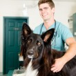 Stock Photo: Large Dog at Small Animcal Clinic