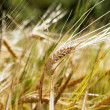 Wheat Background - Foto de Stock