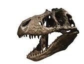 Tyrannosaurus Rex Skull — Stock Photo
