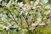 Blueberry Background — Stock Photo
