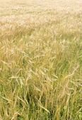 Gold Wheat Field — Stockfoto