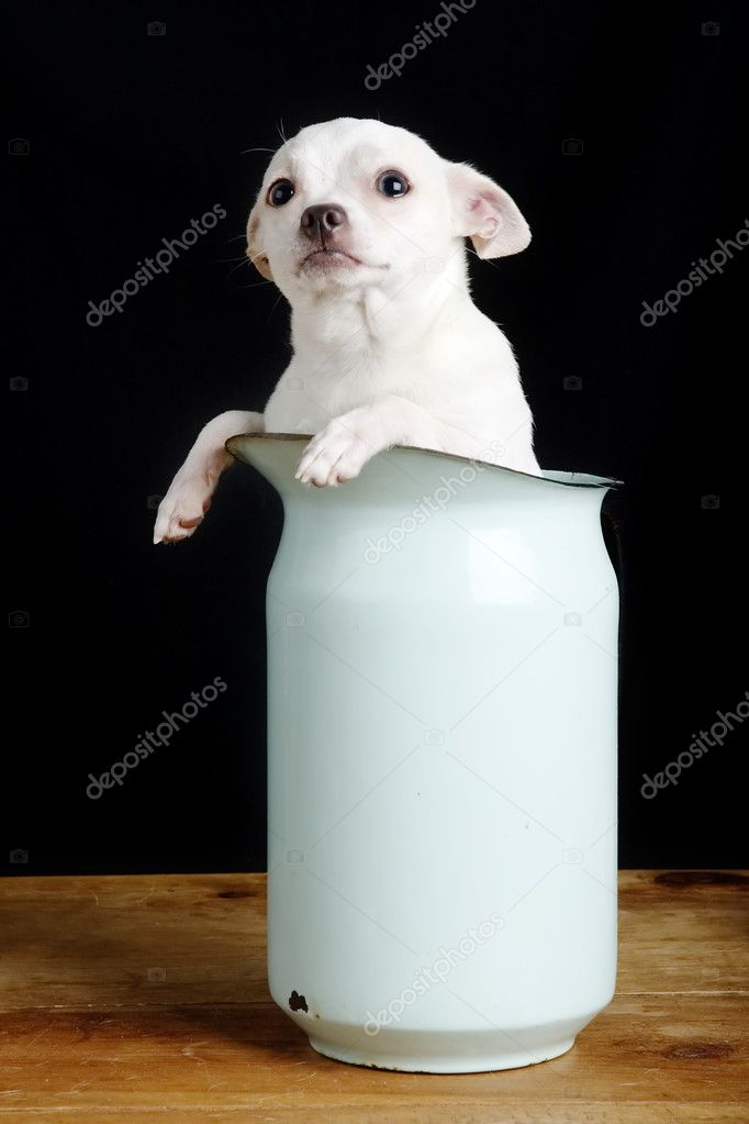A chihuahua with a questioning look in it's face.  Stock Photo #5724258