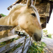 Norwegian Fjord Horse - Stock Photo