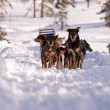 Dog Sled — Stock Photo