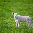 Lamb — Stock Photo #5732472