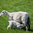 Nursing Lamb — Stock Photo