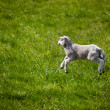 Jumping Lamb - Stock Photo