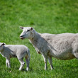 Mother Sheep - Foto Stock