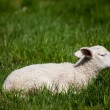 Sleep Lamb — Stock Photo