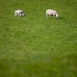 Mother Sheep — Stock Photo
