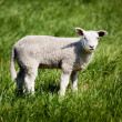Lamb — Stock Photo #5732490